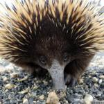 Billy the Echidna