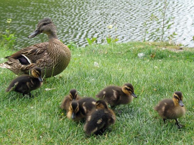 Ducks and little ducks