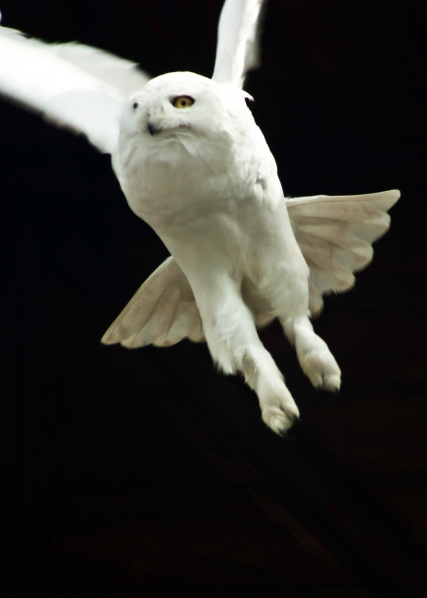 VI owl.jpeg